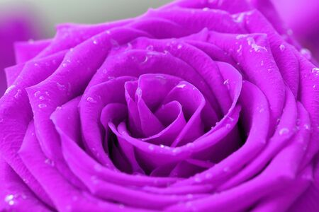 close-up image of purple rose