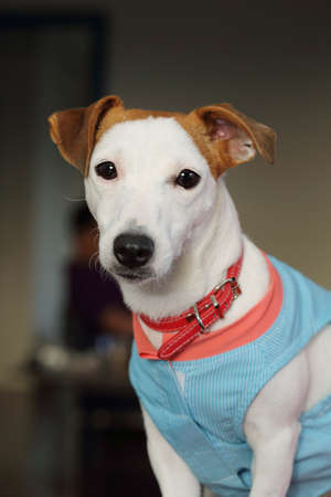 portrait of jack russell dog Stock Photo