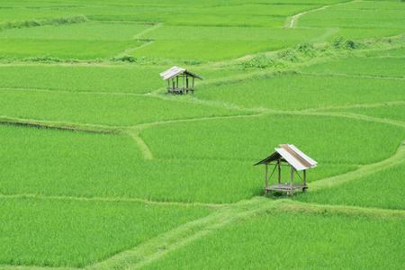 rice field in pua province in nan thailand