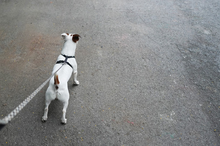 jack russell dog with owner hold a dog leash ready for a walk Reklamní fotografie