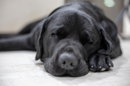 Chien labrador noir endormi