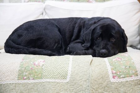 Black Labrador lying on a sofa Archivio Fotografico