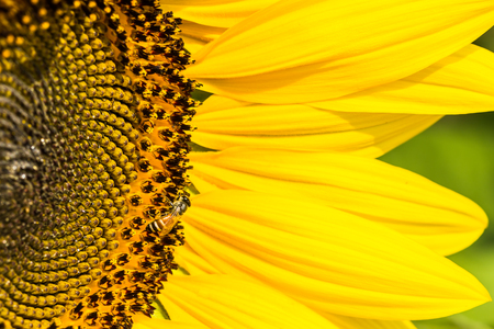 Sunflowers with Bumble Bee collecting nectar and pollen of flowers mixed. photo