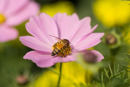Pink flowers with a bee looking for nectar, flowers, and also mixed pollen. photo