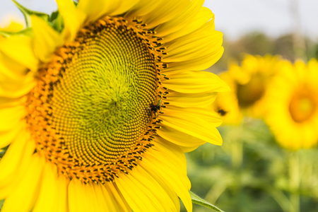 Sunflower with bees were flying for nectar. photo