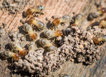 Gros plan manger bois pourri colonie de termites. Et pour construire une maison de termites Dans la lumière pauvre Banque d'images - 70927829