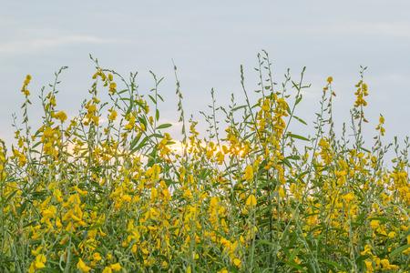 La ferme une strip-teaseuse Crotalaria sauver ces belles resplendissantes l'après-midi quand le soleil était près de l'horizon. Banque d'images - 71796461