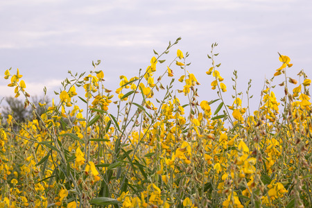The farm Crotalaria a stripper save these beautiful glittering in the afternoon when the sun was near the horizon. Stock Photo