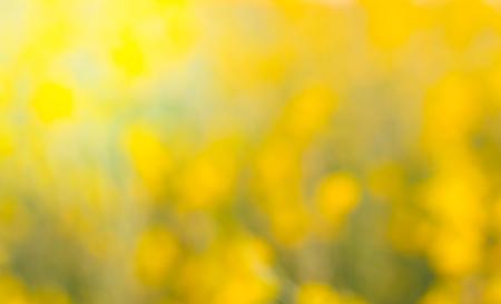 Blur de fleurs Crotalaria lumière dorée spectaculaire comme teinté de soleil. Banque d'images - 70273292