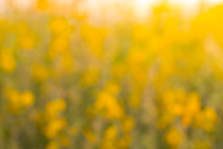 Blur of flowers Crotalaria spectacular golden light like stained with sunlight. Stock Photo