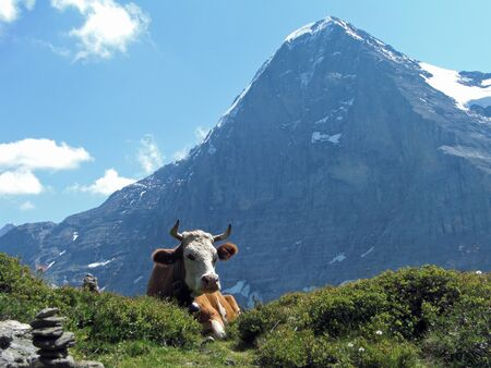 eiger: Cow in front of the Eiger