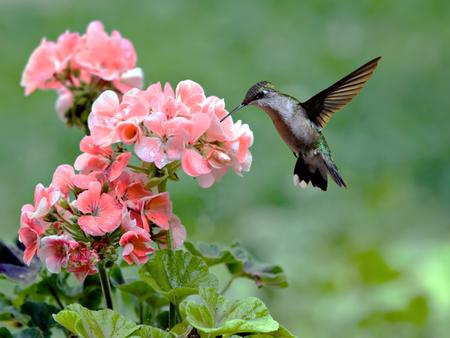 Ruby-throated colibrí alimentándose de una planta con flores Foto de archivo