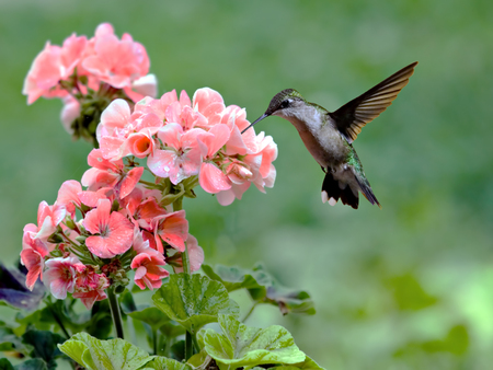 Ruby-throated hummingbird feeding on a flowering plant Stock Photo
