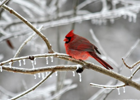 Cardinal perched on a frozen tree branch