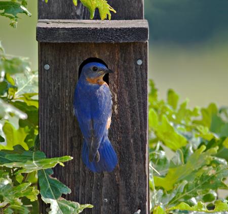 bluebird: Eastern bluebird perched on a bluebird house