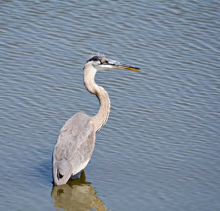 Great blue heron wading in the Mississippi River photo