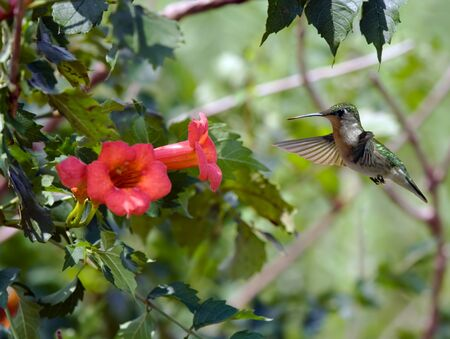 Ruby-throated hummingbird feeding on a flowering plant Reklamní fotografie