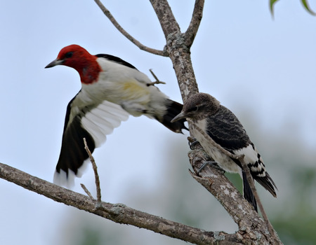 An adult red-headed woodpecker flying from its offspring