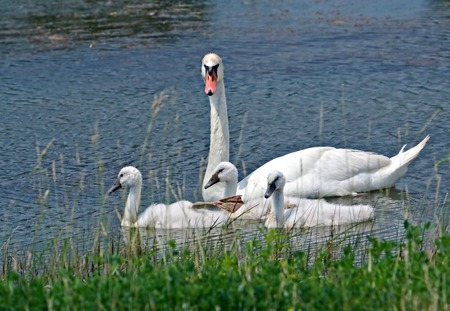 offsprings: A swan and its offsprings swimming in a lake
