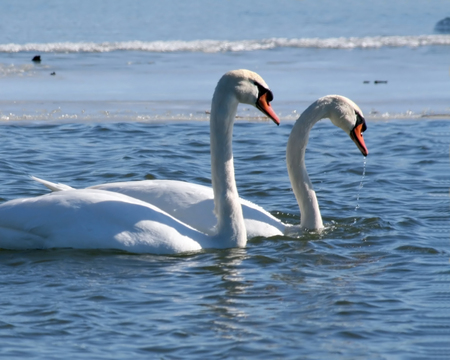 Two Swans swimming in a frozen lake photo