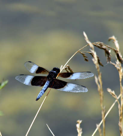 Widow skimmer dragonfly resting on a seed stalk Banco de Imagens - 1512098