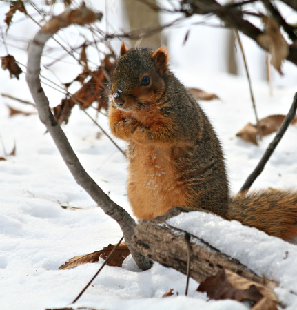 Fox squirrel trying to keep warm in the winter