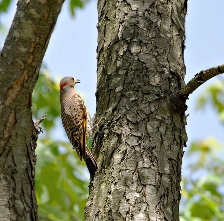 flicker: Northern flicker woodpecker perched on a tree Stock Photo