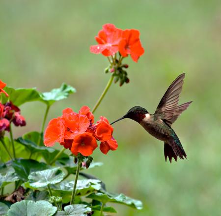 Male ruby-throated hummingbird feeding on a geranium flower Stock Photo