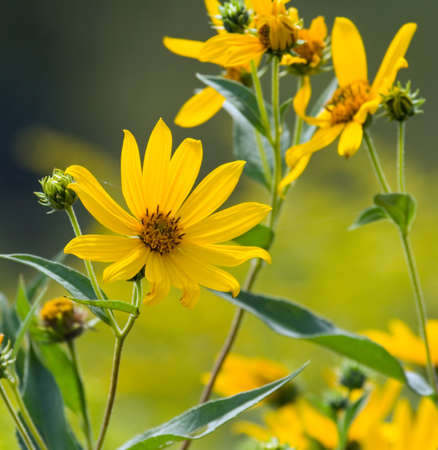 Yellow wildflower (helianthus) blooming in late summer Stock Photo
