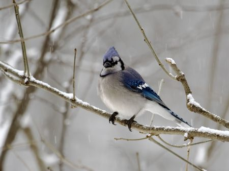bluejay: Bluejay perched on a tree branch on a snowy day Stock Photo