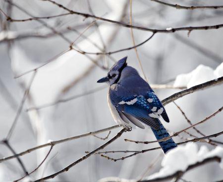 snowy background: Bluejay posado sobre la rama de un �rbol con un fondo cubierto de nieve