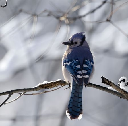 bluejay: Bluejay perched on a tree branch with a snowy background Stock Photo