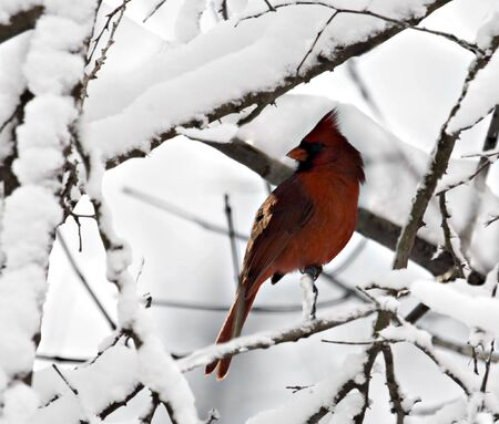 redbird: Male northern cardinal perched in snowy tree branches