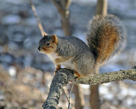 Fox squirrel posed on a tree branch Imagens