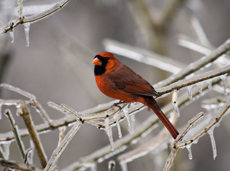 redbird: Male cardinal perched on an icy tree branch