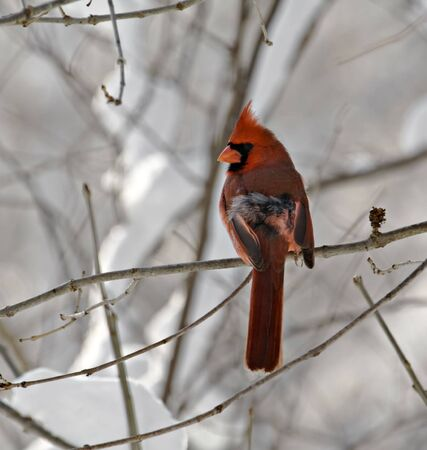 redbird: Male northern cardinal perched on a snowy tree branch