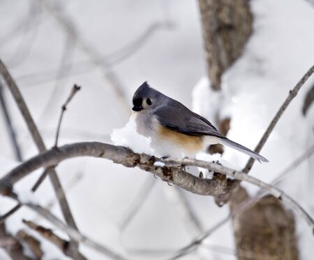 tufted: Tufted titmouse perched on a snowy tree branch