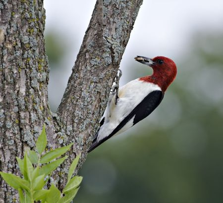 Red-headed woodpecker perched on a tree with food in its beak