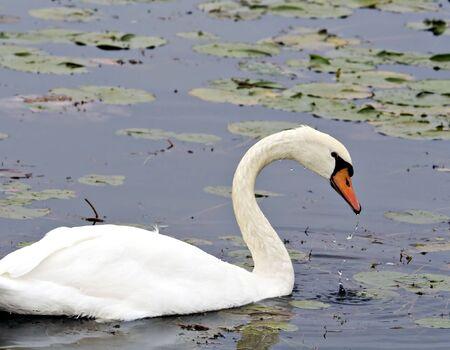 Mute swan swimming among lily pads photo