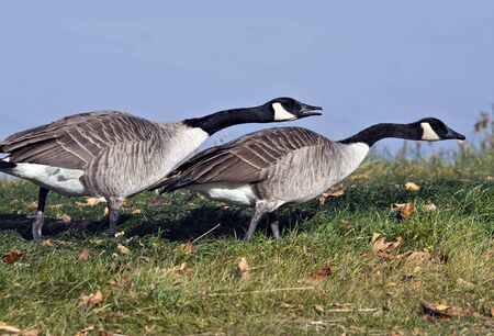 canada goose: Canada goose chasing after another canada goose