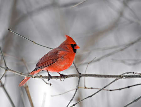redbird: Male northern cardinal perched on a tree branch Stock Photo