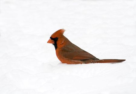 redbird: Male northern cardinal standing in snow