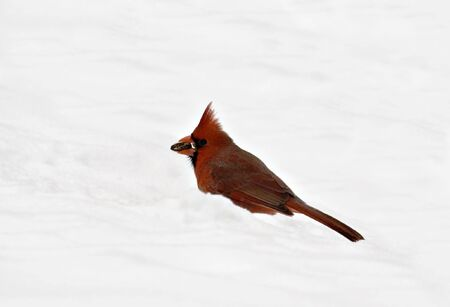 redbird: Male northern cardinal in the snow with a sunflower seed in its beak
