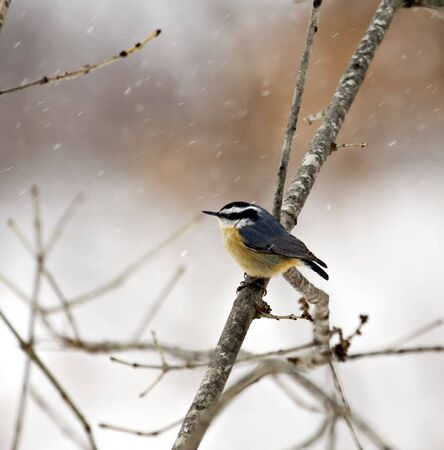 Red-breasted nuthatch perched in a tree with snow falling Stock Photo