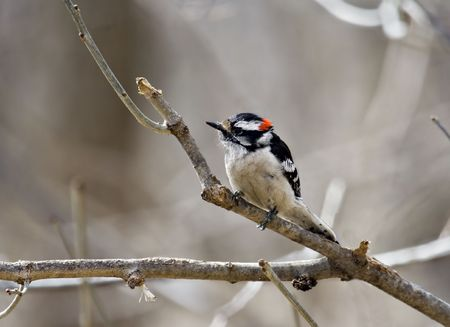 downy: Downy woodpecker perched on a tree branch