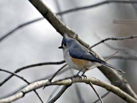 Tufted titmouse perched on a tree branch photo