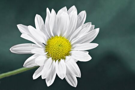 Daisy isolated on a green background Stock Photo