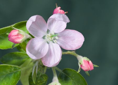 Closeup of an apple blossom and buds photo