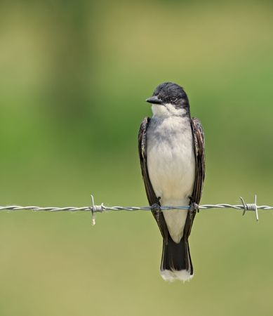 Eastern kingbird perched on a barbed wire fence photo