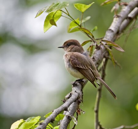 Willow flycatcher perched on a tree branch Stock Photo